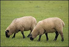 New Technology for Tissue Regeneration Derived from Sheep
