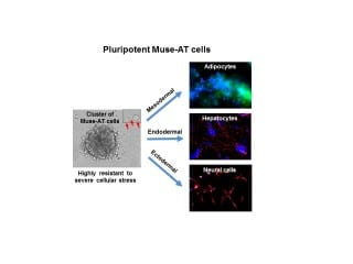 Regenerative Medicine Breakthrough:  New Population of Stress-Resistant Pluripotent Stem Cells IDed in Fat from Liposuction