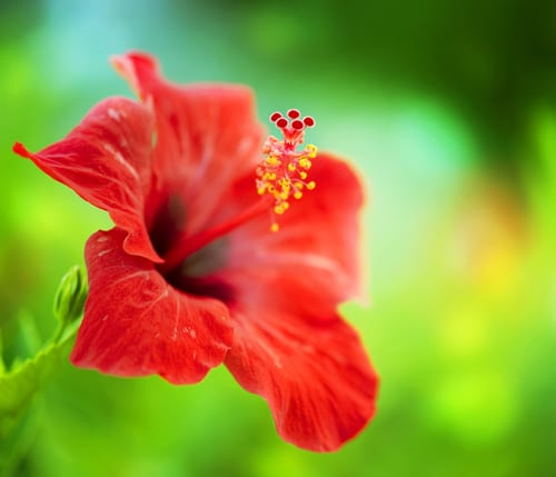 Can an Extract from Hibiscus Leaf Help Treat Melanoma?