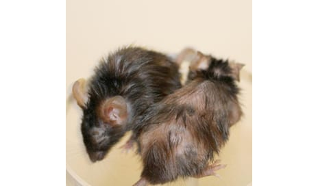 Anti-Aging Peptide Recovers Fur Growth, Kidney Health in Mice