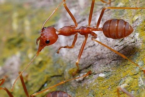 Ant Venom Could Treat Psoriasis, Emory Researchers Find