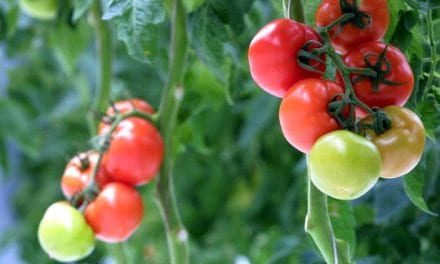 Can Food Stop the Aging Process? Scientists Engineer Tomatoes Designed to Keep You Young