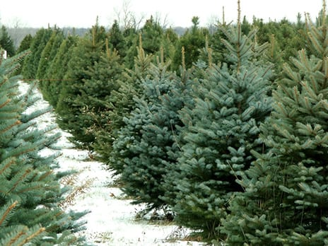 Ho! Ho! Ho! Christmas Trees as Allergens