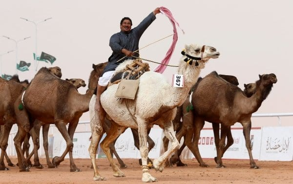 No Botox: Camels Disqualified from Beauty Contest in Saudi Arabia