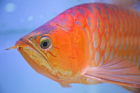 Cosmetic Surgery for a Pet Fish? In Asia, This One Is King of the Tank