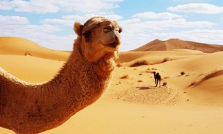 In Saudi Arabia, Camels Are Getting Cosmetic Surgery